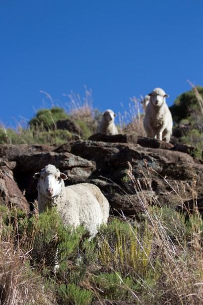 Basotho Sheep