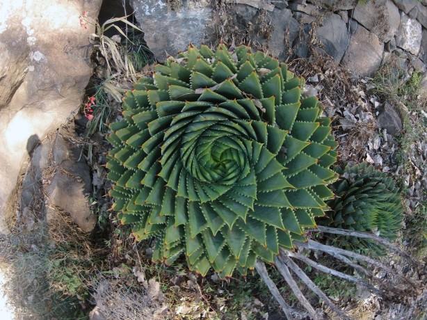 Endemic Spiral Aloe