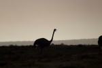 Ostrich in the sunrise