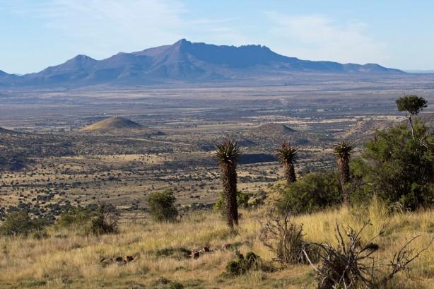 Giant Aloe Plants of The Karoo