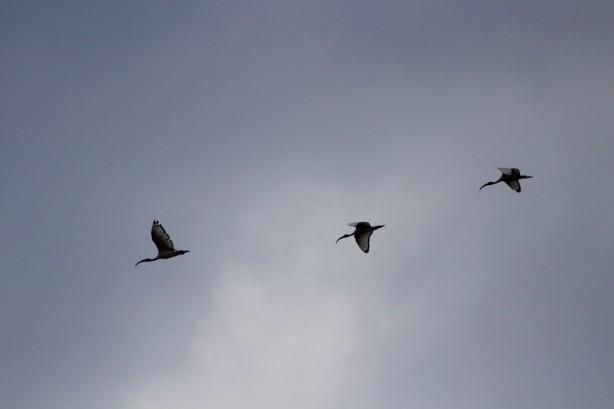 Hornbills In Flight