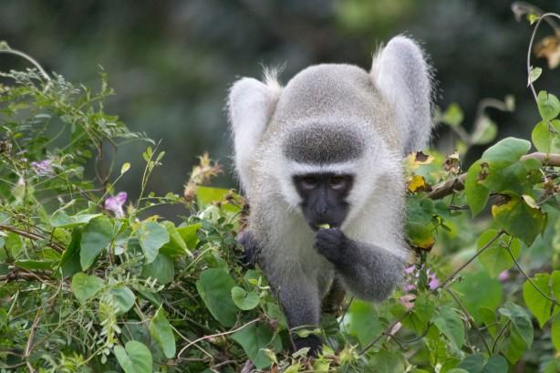 Vervet Monkey Snacking