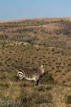 Moutain Zebra