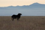 Lone Black Wildebeest