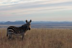 Young Mountain Zebra