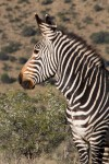 Mountain Zebra with sweet thorn