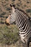 Mountain Zebra with sweet thorn