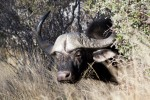 Buffalo poking its head out