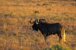 Black Wildebeest in the sunrise