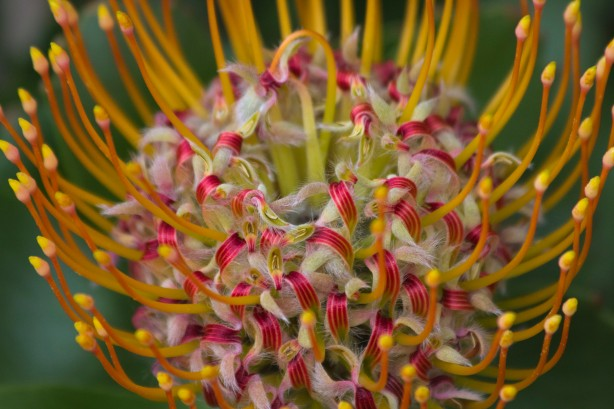 Pincushion Protea Close Up