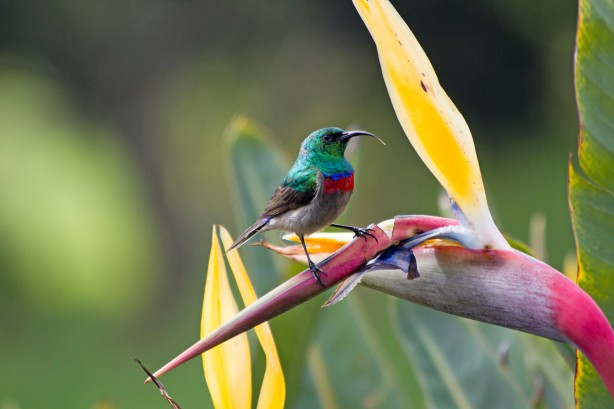 Southern Double-collared Sunbird on Bird of Paradise Flower