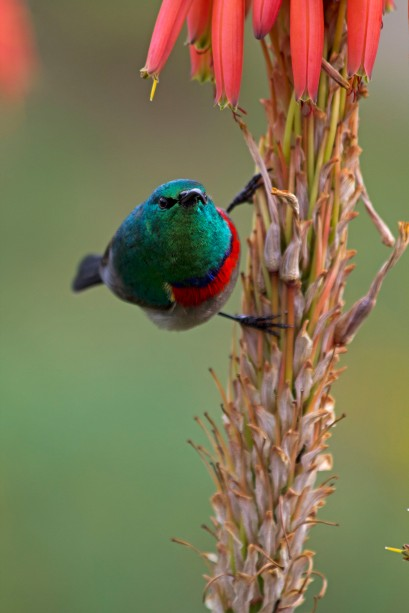 Southern Double-collared Sunbird Ready To Fly