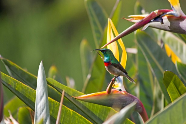 Southern Double-collared Sunbird Tongue Out
