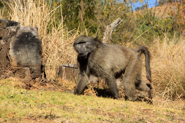 Baboon at Royal Natal NP