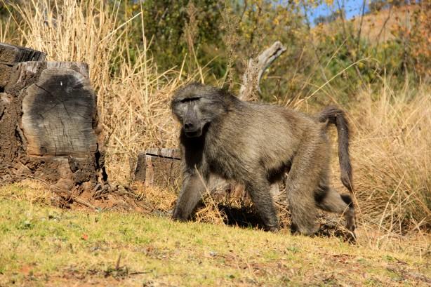 Baboon at Royal Natal NP