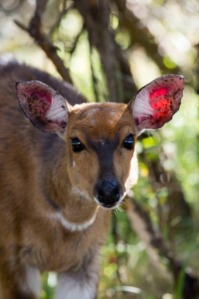 Bushbuck at Royal Natal NP