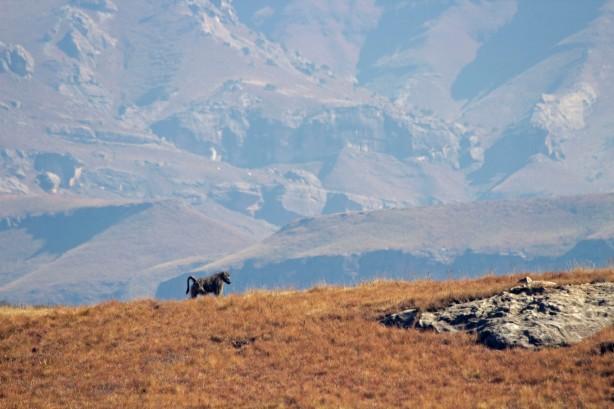 Patrolling Baboon