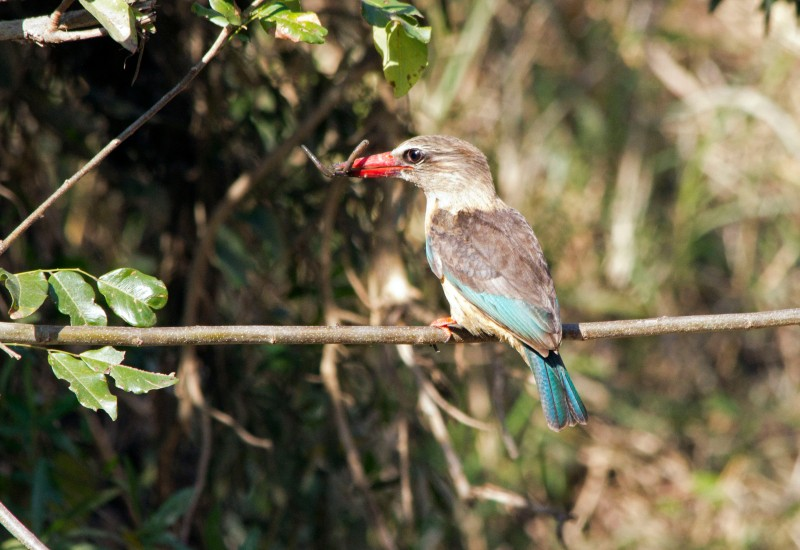 Brown Hooded Kingfisher with worm