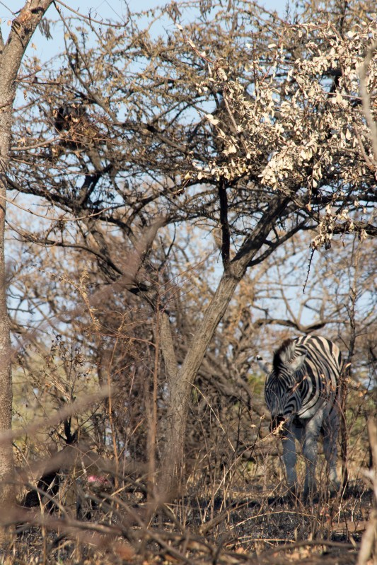 Zebra foraging the burn