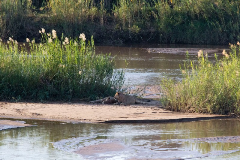 Lions on the Black Mfolozi River