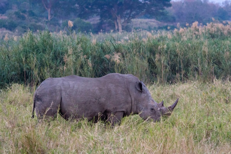 White Rhino in the dusk