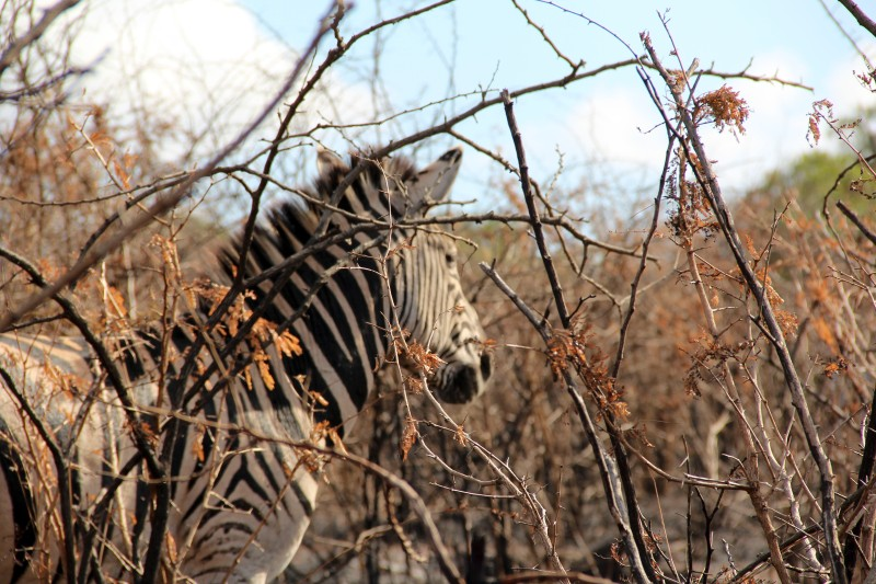 Zebra in the brush