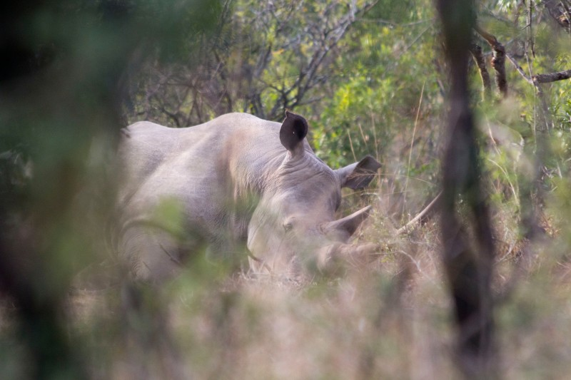 White Rhino sleeping in brush
