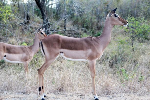 Impala (Photo by Sarah)