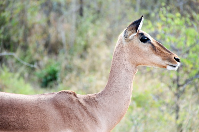 Impala Profile