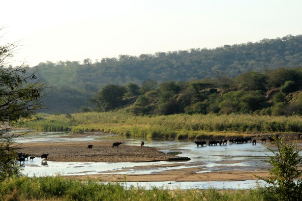 Buffalo Crossing the Black Mfolozi River (Photo by Sarah)