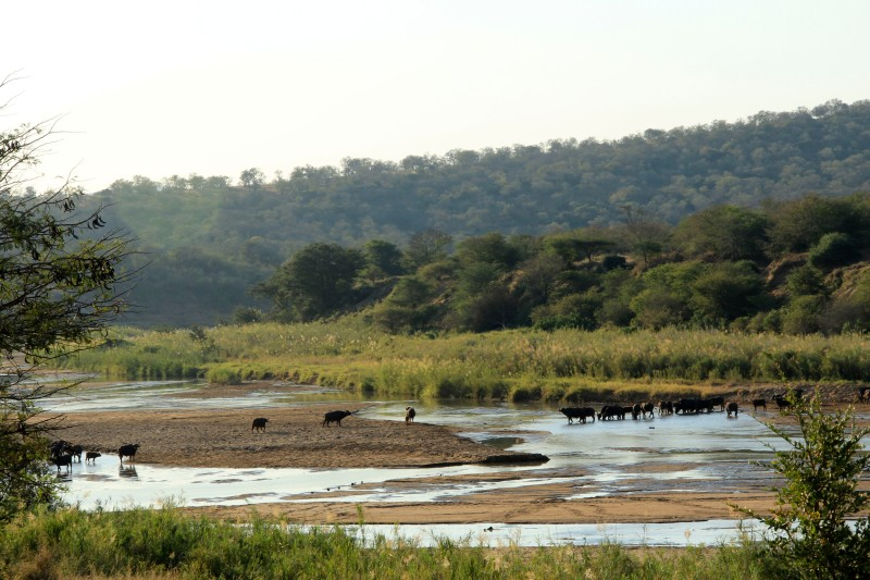 Buffalo Crossing the Black Mfolozi River