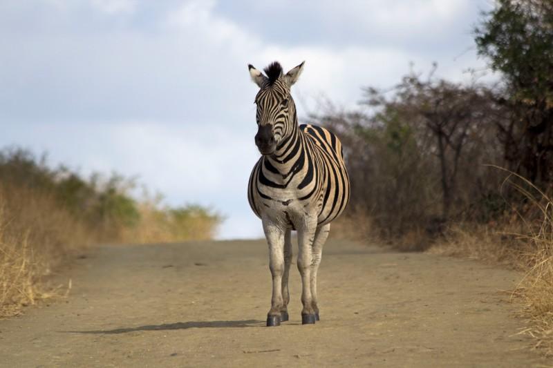 Zebra roadblock