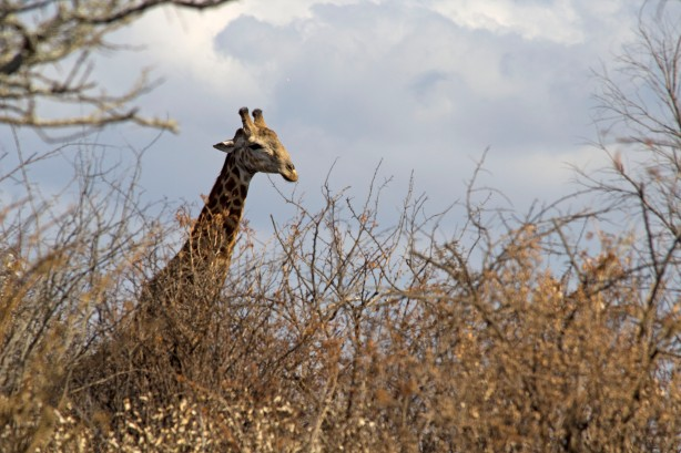 Giraffe above the trees