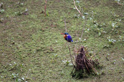 Malochite Kingfisher