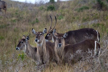 4 Waterbucks or a 4 headed mythical creature