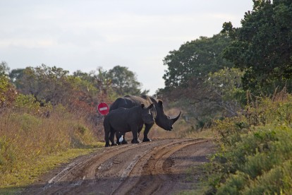 Black Rhinoceros Roadblock