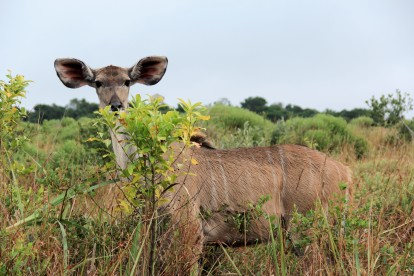 Kudu (Photo by Sarah)