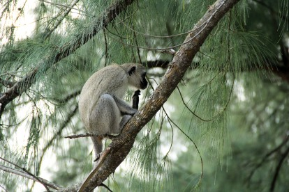 Vervet Monkey in the pines (Photo by Sarah)