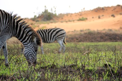 Zebra and the red sand dunes (Photo by Sarah)