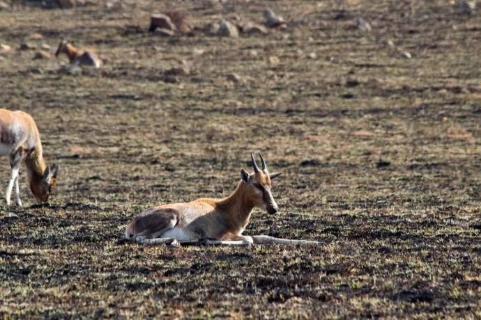 Young Blesbok