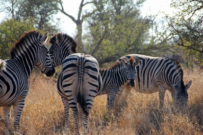 Burchell's Zebra (Photo by Sarah)