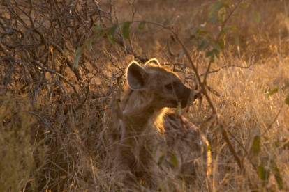 Hyena in the Sunrise