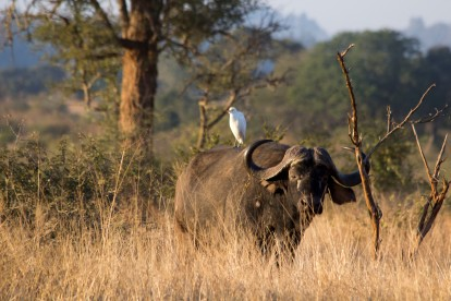 Buffalo and Egret